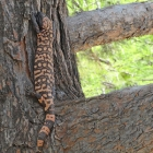 Do Gila monsters climb trees?