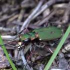 Tiger beetle video image