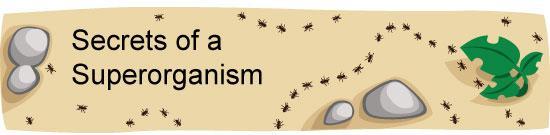 Superorganism Ant Colonies