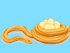 Python brooding