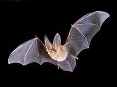 Big Eared Bat