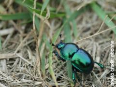 A shiny green Earth-boring dung beetle
