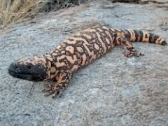 A Gila monster, a large venomous lizard