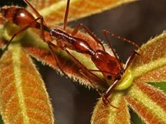 Trapjaw ant Odontomachus hastatus