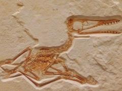 Pterosaur fossil