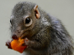 Tree-shrew-eating