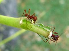 Trees Get By with Ant Aides