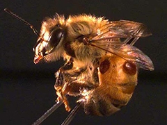 Bee with mites