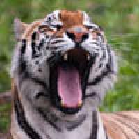Tigers are Grrrrreat!