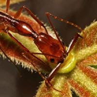 Trapjaw ant Odontomachus