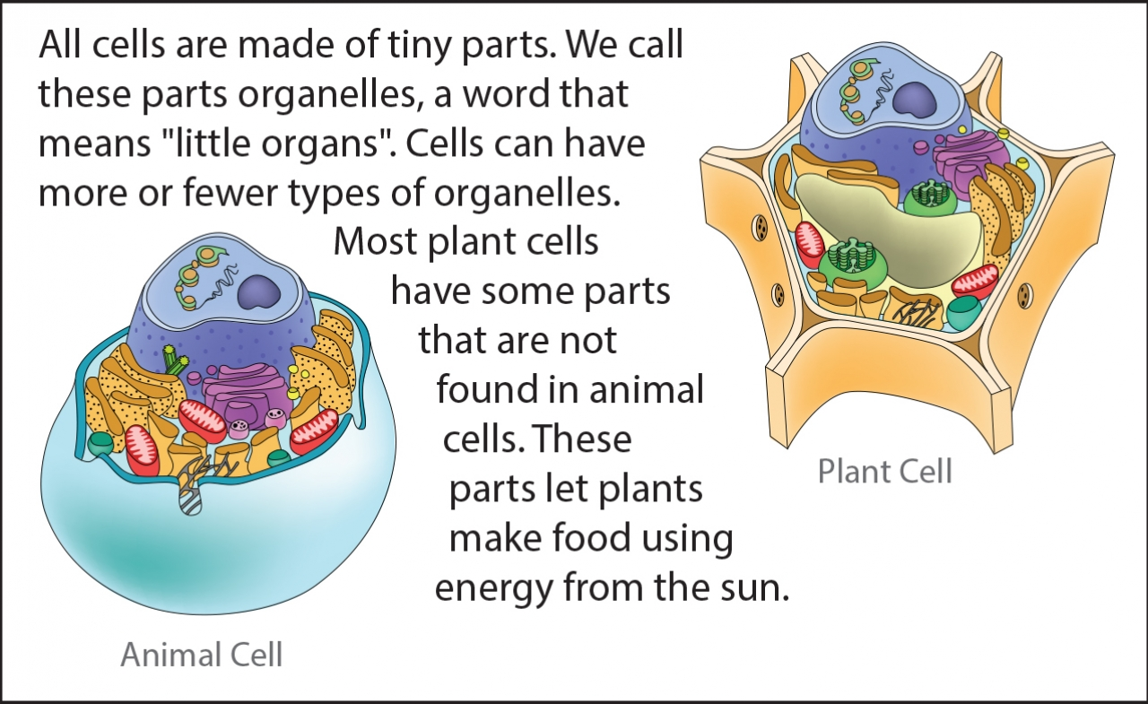 Biology Reading Flashcards - Cell Parts | Ask A Biologist