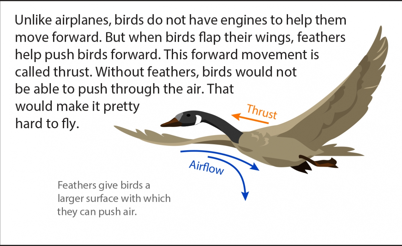 Biology Reading Flashcards - Feathers | Ask A Biologist