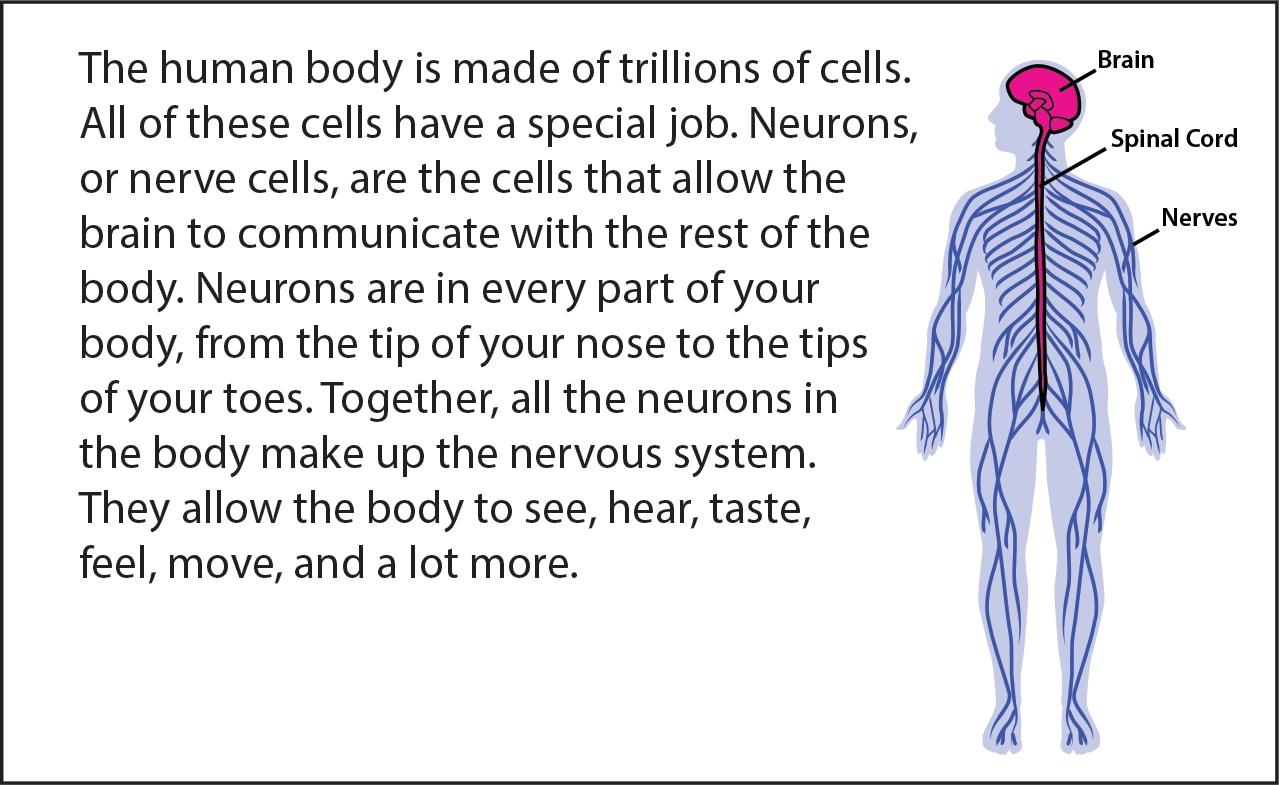 Ungewöhnlich Facts About The Nervous System Ideen - Menschliche ...
