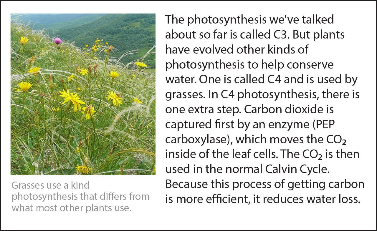 Biology Reading Flashcards - Photosynthesis | Ask A Biologist