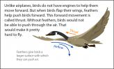 An illustration of a goose flying, showing the direction of thrust and airflow.