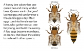 An illustration of the different kinds of bees in a colony: worker, drone, and queen