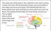 Illustration showing what each part of the brain is responsible for.
