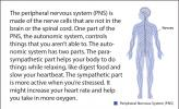 Illustration of the peripheral nervous system.