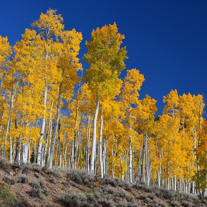 Pando, the largest stand of aspen trees