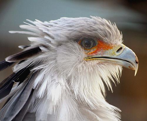 Pássaro secretário