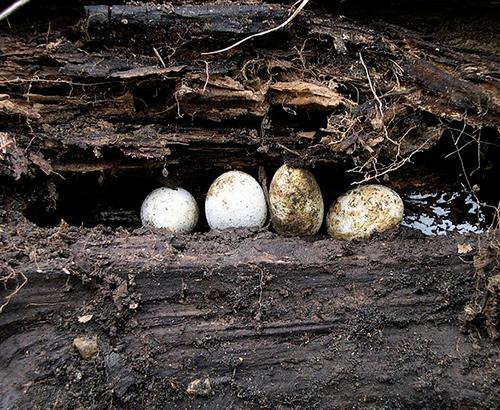 Reptile eggs