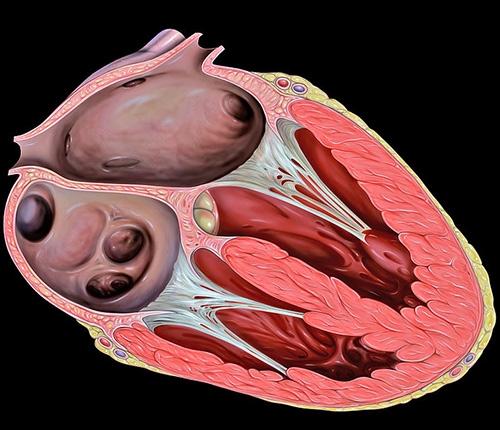 4-chambered heart