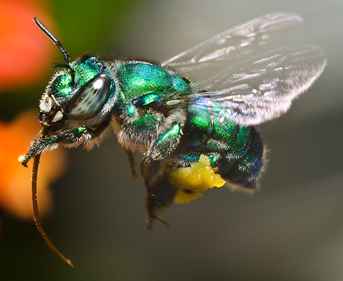 Orchid bee hovering