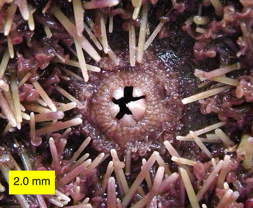 Sea urchin teeth
