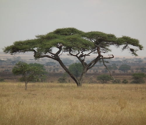 acacia de copa plana