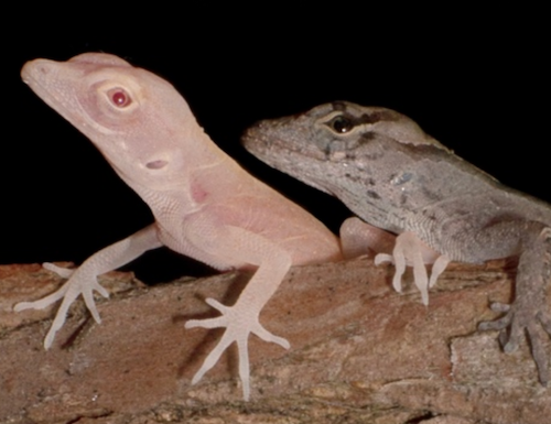 Albino and wild type Anolis lizards