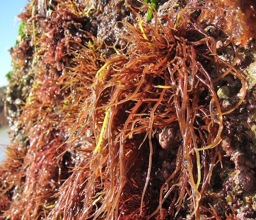 Red and brown algae may also be photosynthetic