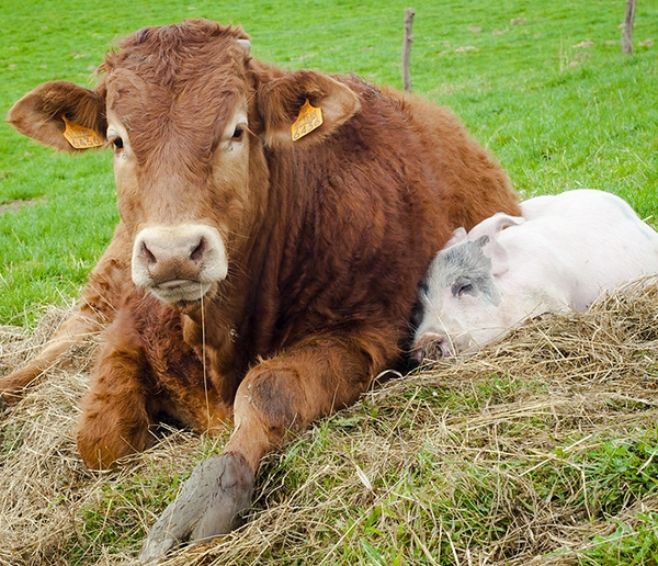 A cow and a pig cuddling; these two animals are susceptible to certain coronaviruses.