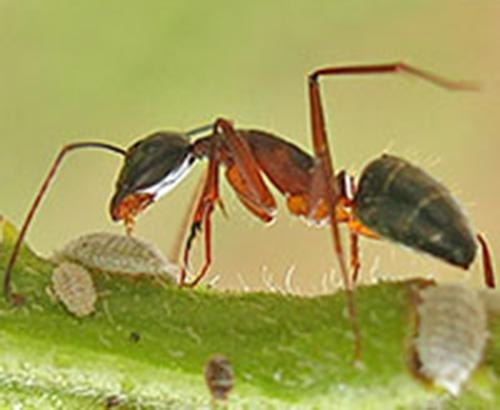 An ant tending to scale insects