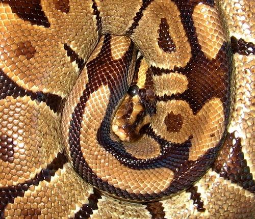 Ball python coiled on eggs
