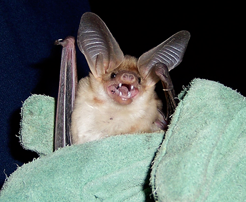 image of a bat in a researcher's gloved hand