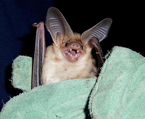 pallid bat being held