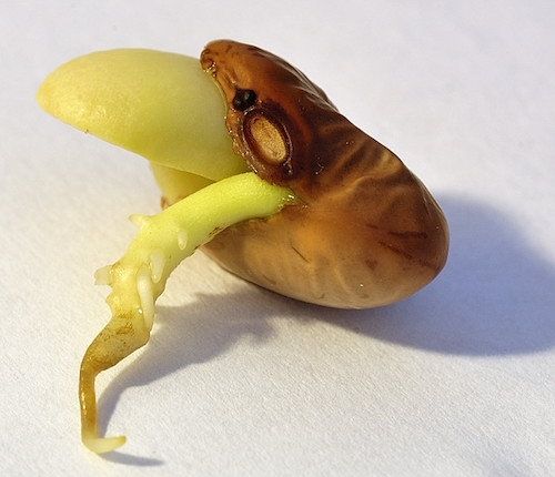A bean germinating