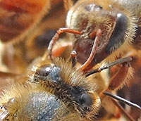 Bees touching their antennae