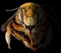 ¿Están desapareciendo las abejas?