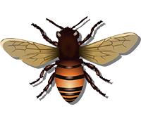 Anal acrobats honeybee