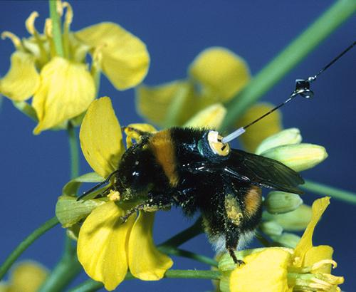 A bumblebee wearing a transponder