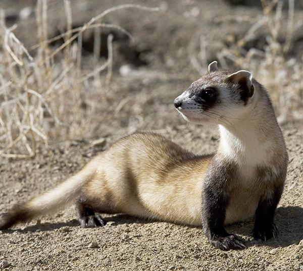 Black-footed ferret.