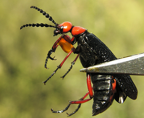 A blister beetle held between forceps