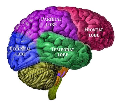 Labelled brain lobes