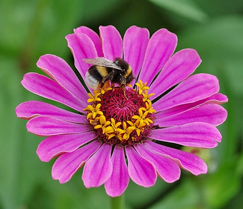 Bumblebee on a zinnia flower.