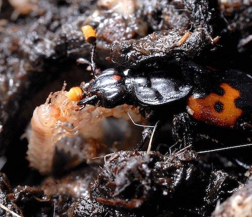 Burying beetle caring for young