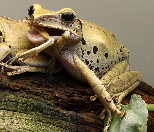 Cannibal common tree frog