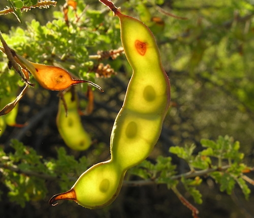 fruit d'acacia Catclaw
