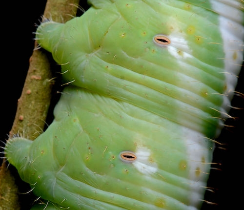 Close-up image of a caterpillar's spiracles
