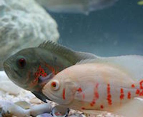 Two cichlid fish side by side